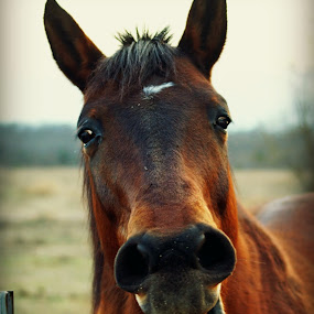 The Horse's Mouth by Teresa Delcambre - Animals Horses ( fence, pony, pasture, tongue, bay, horse, gelding, yawn )