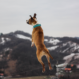 Flying dog by Suzana Svečnjak - Animals - Dogs Playing ( pets, american staffordshire bull terrier, dogs )