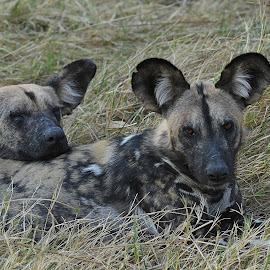 Painted Dogs by Steven Liffmann - Animals Other Mammals