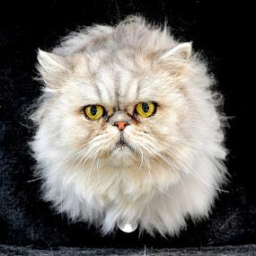 Puffball by Josh Norem - Animals - Cats Portraits ( cats, cat, feline, kitties, kitty )