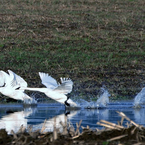 water dance by Brent Monique Makenzie Moran - Animals Birds ( bird, swans, flight, waterfowl, fly, swan, birds,  )