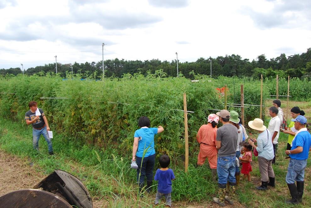 トマト畑。脇芽をとらずに麻紐でまとめています