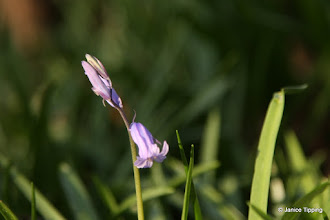 Photo: The first bluebell of 2012 (taken in Ashenground Wood on 24.3.12)