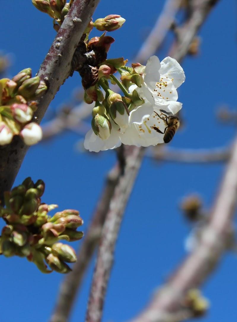 aspettando la ciliegia di lorenzocap