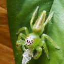 Northern Green Jumping Spider (female)