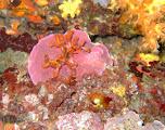 Photo: myriapora truncata (faux corail) sur coralline (pseudolithophyllum expansum) / 2012 La Londe