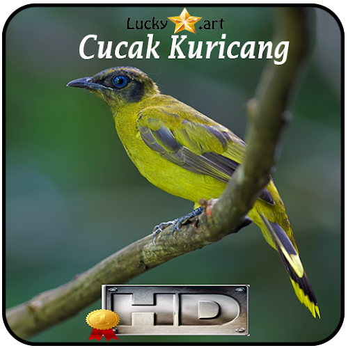 Download Cucak Kuricang Top Apk Latest Version For Android