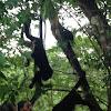 Capachine Monkey (#2)