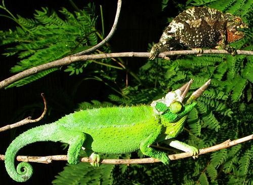 C:\Users\Name\Pictures\jacksons-chameleon1-e1a5df12.jpeg