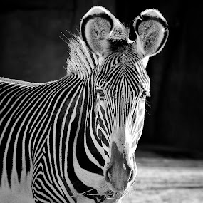 Zebra by Margie Troyer - Black & White Animals (  )