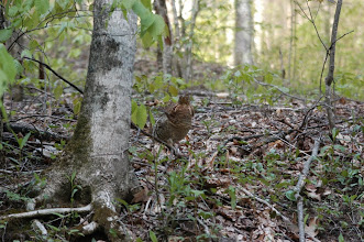 Photo: ruffed grouse looking at you! this bird followed us and eventually flew right behind us when we drove away for about 50 ft - it was hilarious