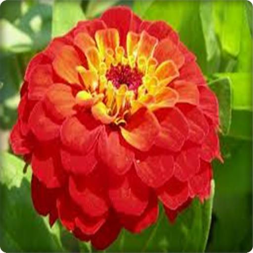 New Zinnia Flowers Onet Game 棋類遊戲 App LOGO-APP試玩