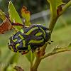 Fiddler Beetle
