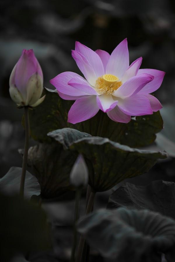 lotus by Mai Tran - Flowers Single Flower
