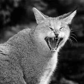 Wild cat by Gérard CHATENET - Black & White Animals