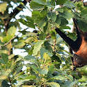 Indian Flying Fox or Great Indian Fruit Bat