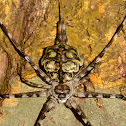 Two-tailed Spider