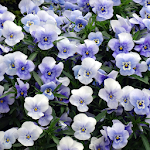 Pansies Jigsaw Puzzles