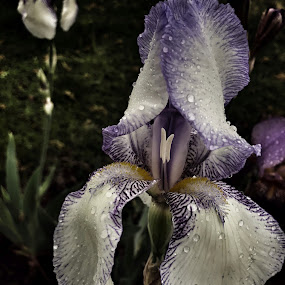 Iris after the rain by Peggy Clark - Flowers Single Flower ( iris, rain, flower,  )