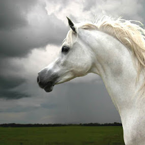 Araba by Debby  Raskin - Animals Horses ( equine, mane, horse, white, arabian, head )