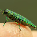 Emerald Jewel Beetle