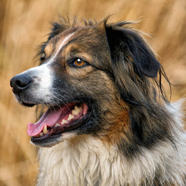 Portrait - English Shepherd - Sage by Twin Wranglers Baker - Animals - Dogs Portraits (  )