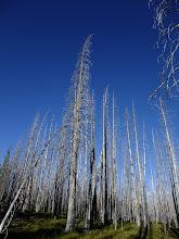Photo: Tall fire-killed trees
