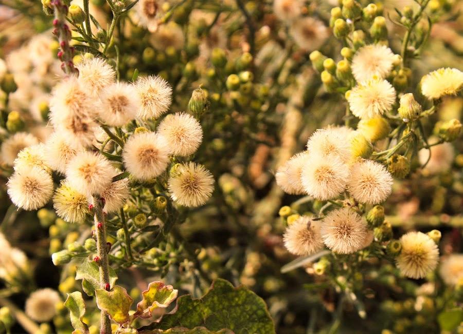 yelloish white by Mukesh Kumar - Flowers Flowers in the Wild