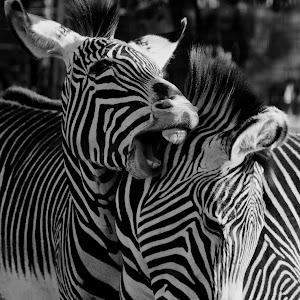 Zebra 2 BW.jpg