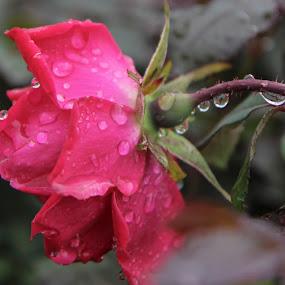 Raindrops on the Rose by Debbie Duggar - Flowers Single Flower