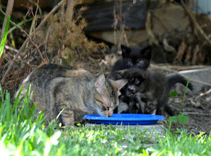 Photo: It's hard to tell, but the furball on the right is composed of three kittens. Looks like the babysitter ate the yogurt while mom was out hunting.
