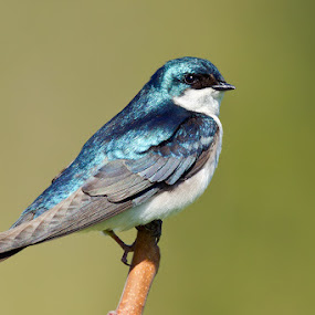 Tree Swallow by Herb Houghton - Animals Birds ( tree swallow, insectivore, swallow, herbhoughton.com, songbird )