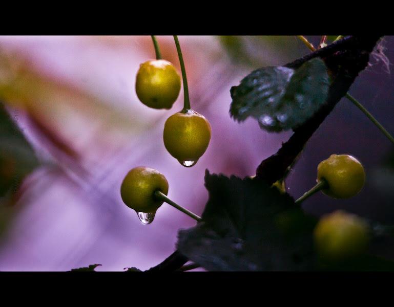 Photo: Maggio 31, 2012 - 152/366 two things I love, the cherries and the rain  #breakfastclub +Andrea Martinez , me #creative366project +Takahiro Yamamoto +Jeff Matsuya #fruitsfriday  +Vesna Krnjic +Peter Teufl