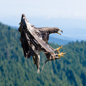 Eagle Landing by Gene Walker - Animals Birds ( canada, 2014 canadian holiday, vancouver )