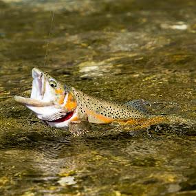 Caught fish by Boris Podlipnik - Animals Fish ( fish, trout, fishing, fisherman, river )