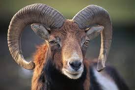Ram   male sheep   Britannica