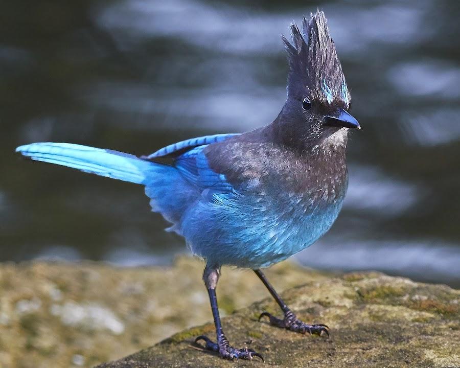 00 Corvid 9999~ by Raphael RaCcoon - Animals Birds