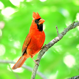 Red Cardinal by Ruth Overmyer - Animals Birds