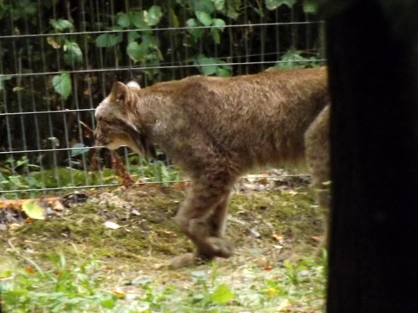 Lynx du Canada, Parc des Félins - Tous droits réservés