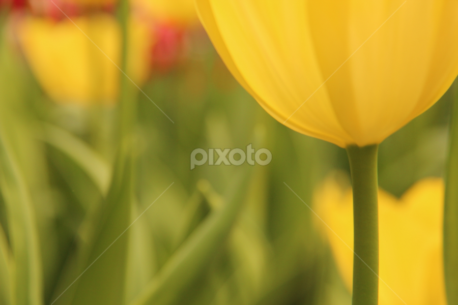Tulip in Keukenhof by Nahid Sultana - Novices Only Flowers & Plants ( nature, tulips, close-up, flower )