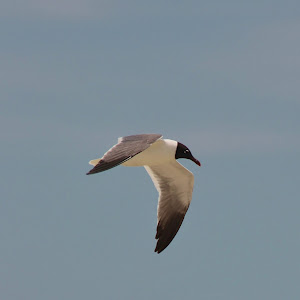 Gull in the Gulf.jpg