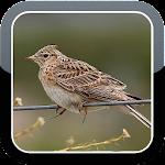 Eurasian Skylark Bird Sounds HQ Icon