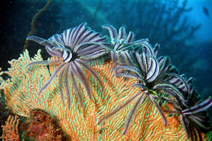 Photo: Crinoïdes ou comatules