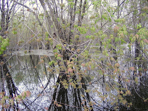 Photo: Silver Maple Swamp