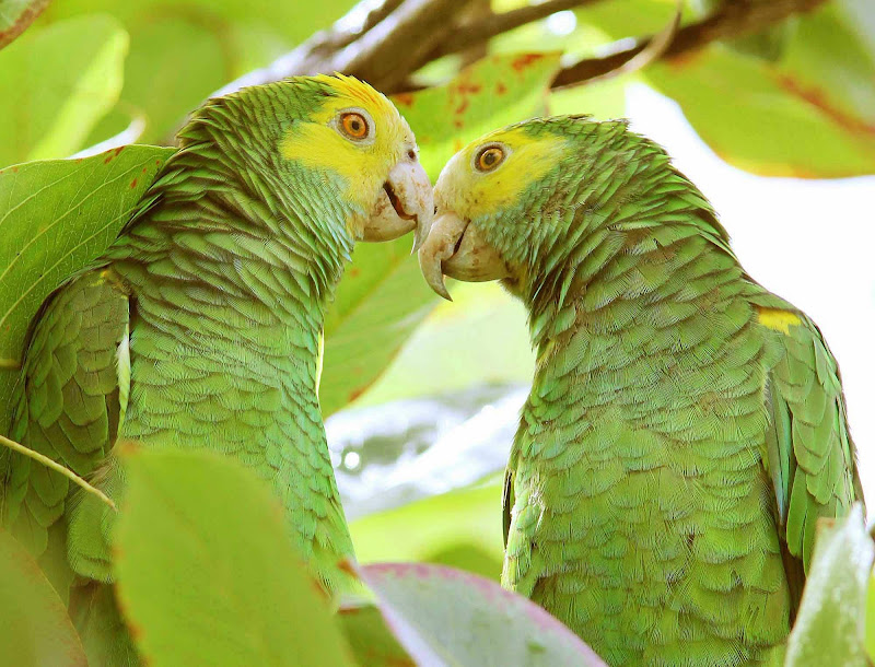 Vividly colored green parrots in Bonaire.