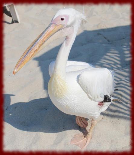 Pelicans wallpapers