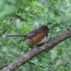 (Female) Eastern Towhee