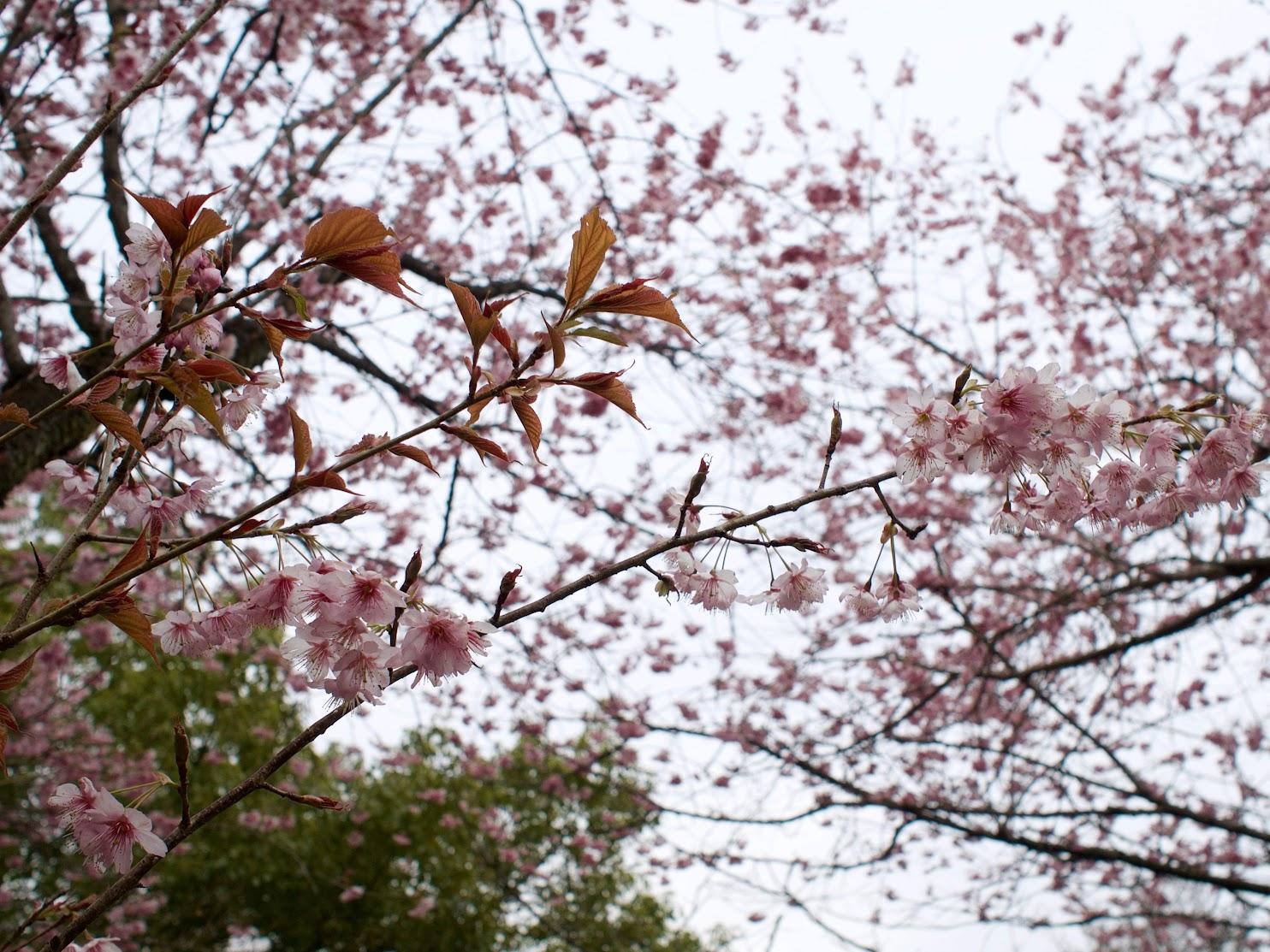Prunus Hatsumiyo