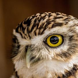 Little owl by Garry Chisholm - Animals Birds ( raptor, bird of prey, nature, little owl, garry chisholm )