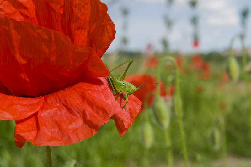 red and green, the poppy and the cricket di Mauro Moroni